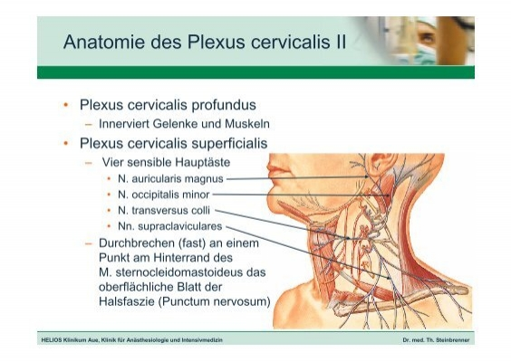 Anatomie des Plexus cervi
