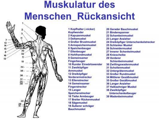 Muskulatur des Menschen_R
