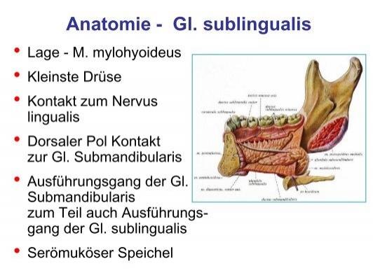 Anatomie - Gl. submandibu