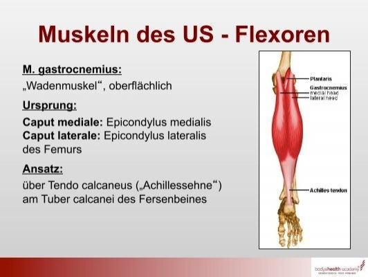 Muskeln des US - Flexoren