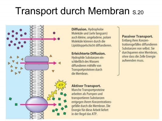 Transport durch Membran S