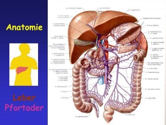 Anatomie Pfortader Blutkr