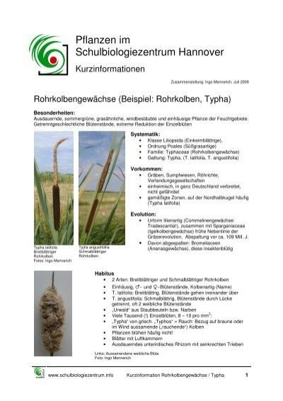 rohrkolben - Einkeimblattrige Pflanzen Beispiele