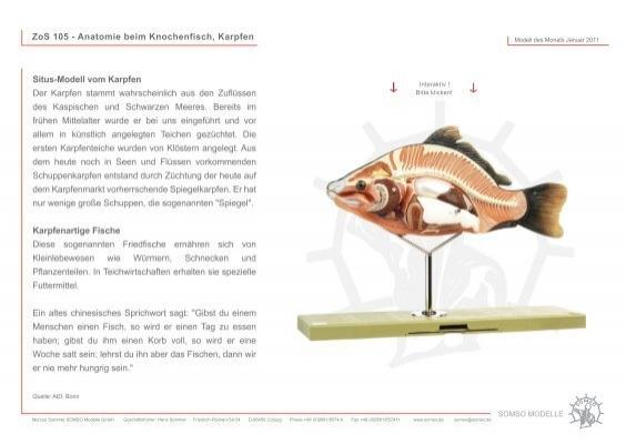 ZoS 105 - Anatomie beim Knochenfisch, Karpfen Situs ... - Somso