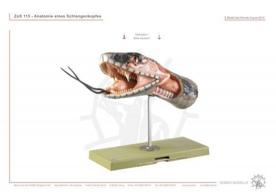 ZoS 115 - Anatomie eines Schlangenkopfes - SOMSO