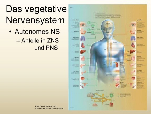 vegetative) Nervensystem
