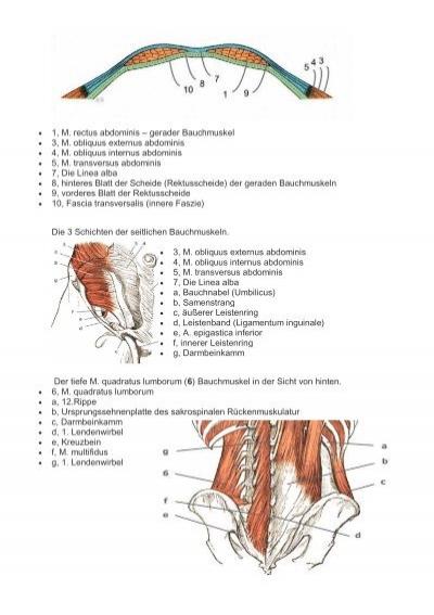 1, M. trapezius - Kapuzen