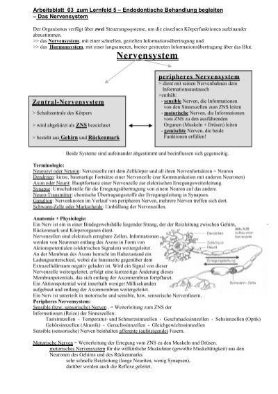 03 Das Nervensystem