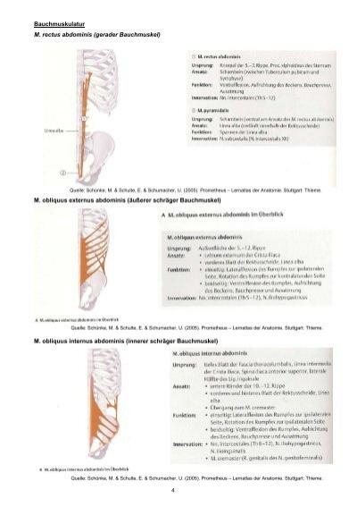 Bauchmuskulatur M. rectus