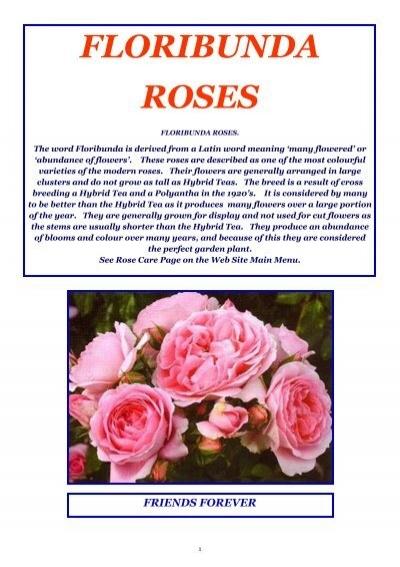 Repeat Flowering Unusual Orange//Cream Stripe Hanky Panky 4lt Potted Floribunda Garden Rose Bush