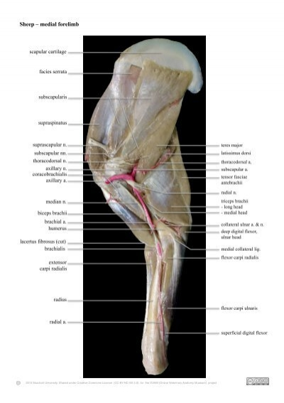 Sheep forelimb nerves and arteries - Online Veterinary Anatomy ...