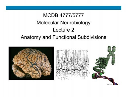 Mcdb 47775777 Molecular Neurobiology Lecture 2 Anatomy And