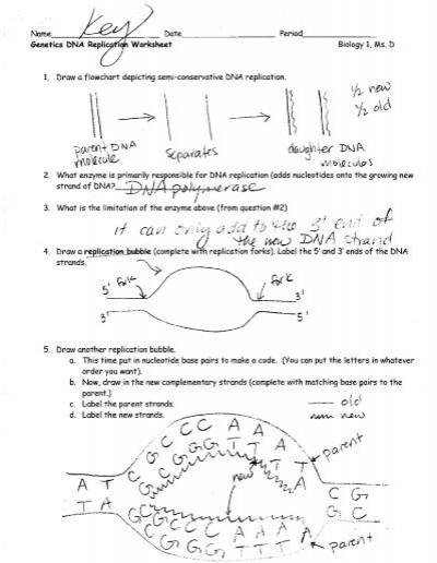 Dna Replication Worksheet Answers: Genetics DNA Replication Worksheet ANSWER KEY,