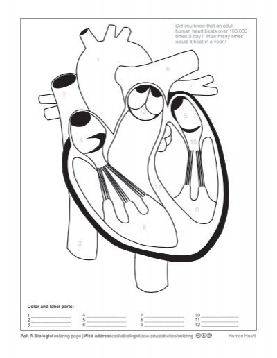 Printables Human Heart Worksheet human heart worksheet davezan the davezan
