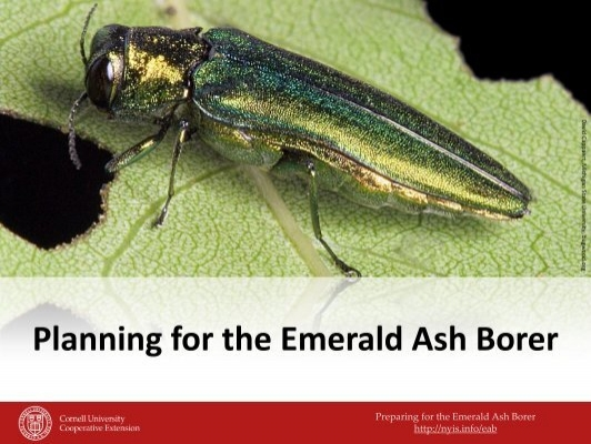the effects of the invasive emerald A special report on the impact of invasive species on michigan  emerald ash borer samples and some of the damage they cause though sulak is the last.