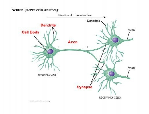 Axon Dendrite Cell Body Neuron (Nerve cell) Anatomy Synapse