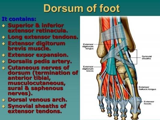Dorsum Of Footpdf