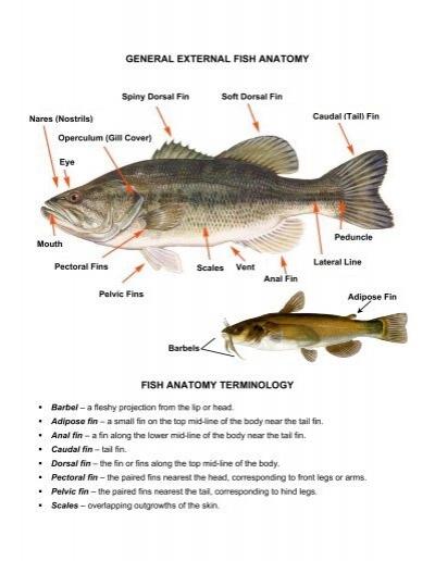 GENERAL EXTERNAL FISH ANATOMY FISH ... - Explore Biology