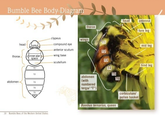 Bumble Bee Body Diagram t