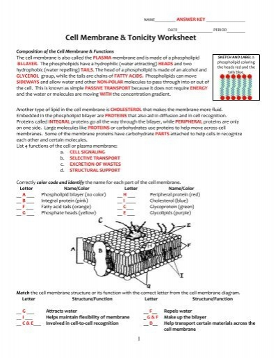 Cellular transport worksheet section a cell membrane structure key