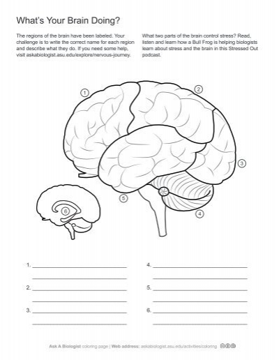 Ask A Biologist Whats In Your Brain Worksheet Activity