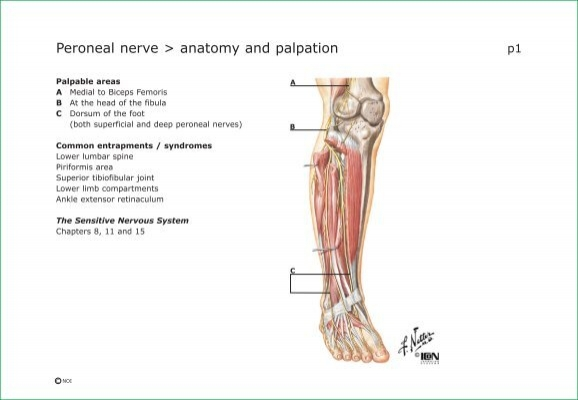 Peroneal Nerve Anatomy And Palpation