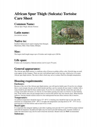 african spur thigh sulcata tortoise care sheet