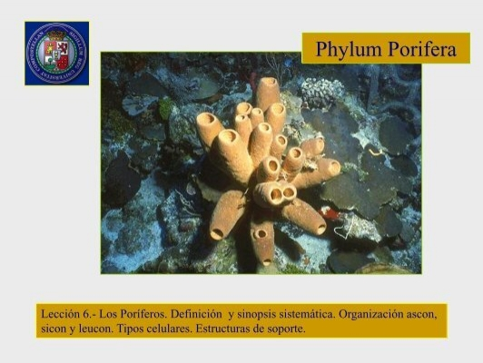 Phylum Porifera Lección