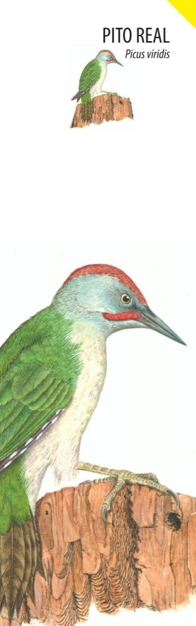 PETIRROJO Erithacus rubec