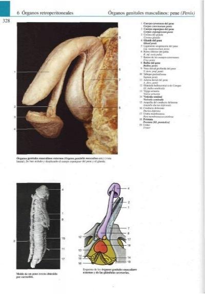 6 Órganos retroperitonea
