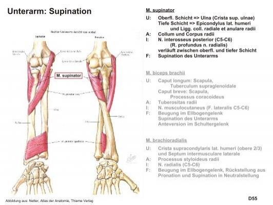 Unterarm: Pronation M. pr