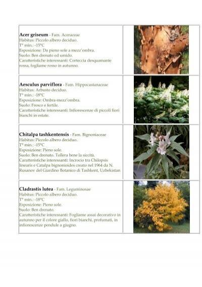 Fiori Bianchi Giugno.Chitalpa Tashkentensis Fam Bignoniaceae Botanica La Romola