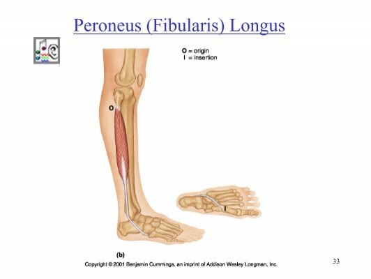 Synergists in Plantar Fle